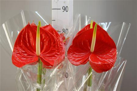 <h4>Anthurium A Saffron</h4>