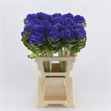 <h4>Brassica Purple</h4>