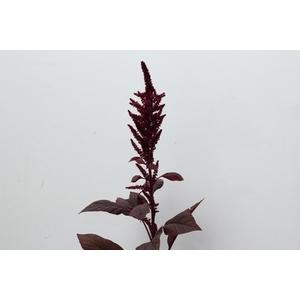 Amaranthus Red Velvet