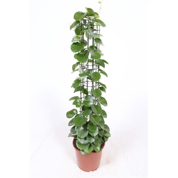 <h4>Cissus rotundifolia</h4>
