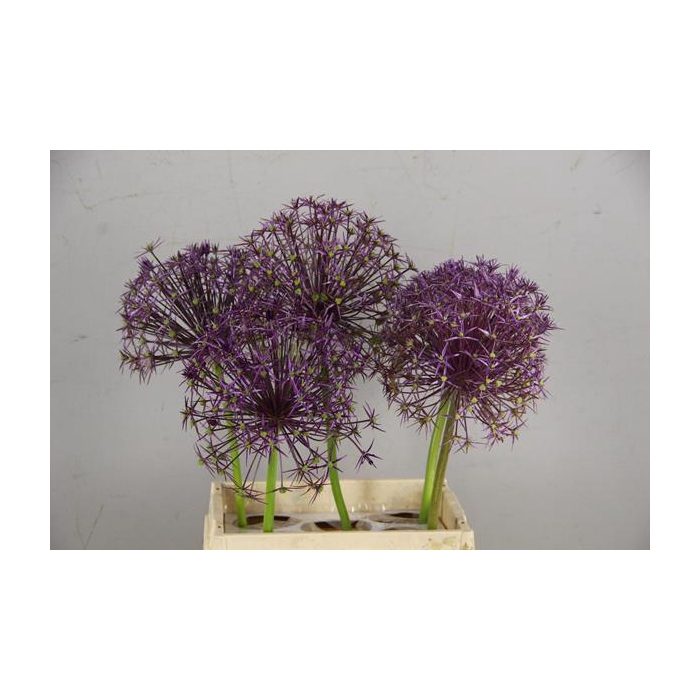 <h4>Allium Purple Explosion</h4>