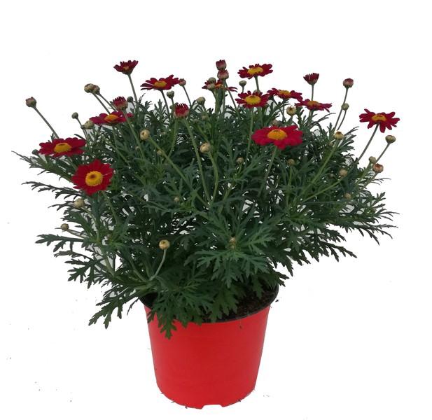 <h4>Argyranthemum fru. Molimba Maggy Rose</h4>