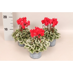 Cyclamen Picasso Red