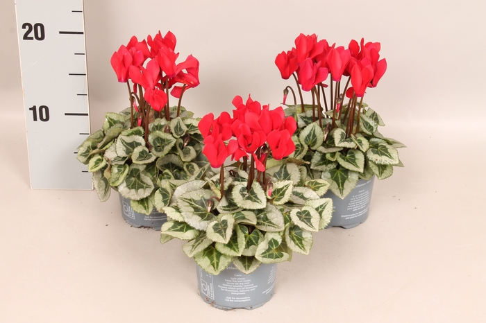<h4>Cyclamen Picasso Red</h4>