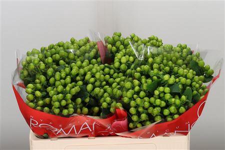<h4>Hyp Lucky Romance Green</h4>