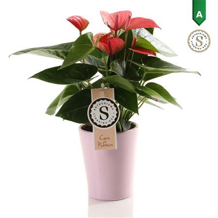 <h4>Anth St Pink Champion Keramiek Paris</h4>