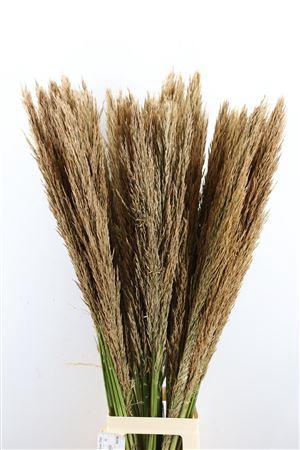 <h4>Cortederia Cane Arundo Donax 110cm P/t</h4>