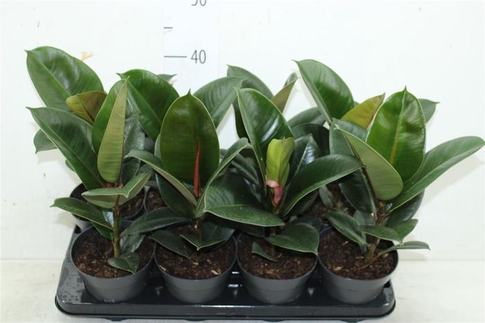 <h4>Ficus Robusta</h4>