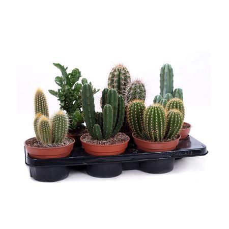 <h4>Cactus Canarias 15 Cm</h4>
