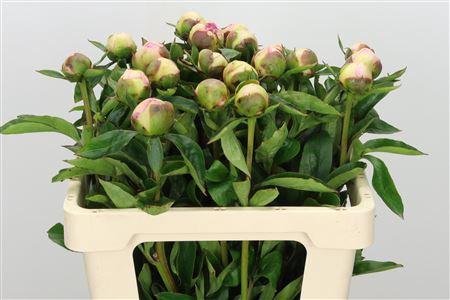 <h4>Paeonia Raspberry Sunday</h4>
