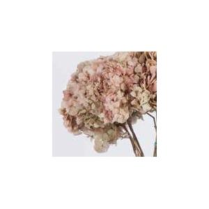 Hydrangea / Hortensia Nat.Cream / Pink HRT/2040