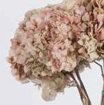 <h4>Hydrangea / Hortensia Nat.Cream / Pink HRT/2040</h4>