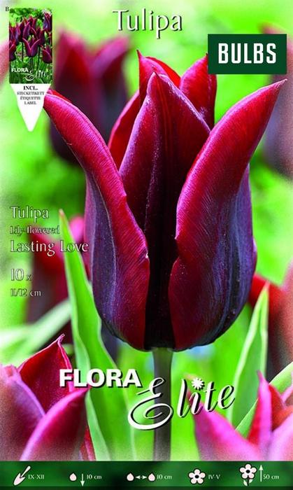 <h4>Z Tulipa Lasting Love</h4>