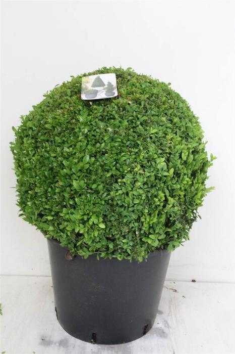 <h4>Buxus Sempervirens Bol</h4>