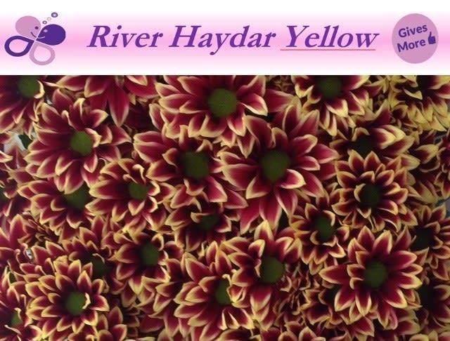 CHR T HAYDAR YELLOW