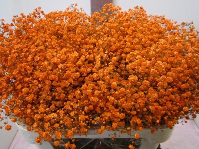 <h4>Gipsophilla Xlence Oranje</h4>