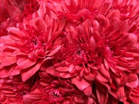 <h4>Chr T Baltica Red</h4>