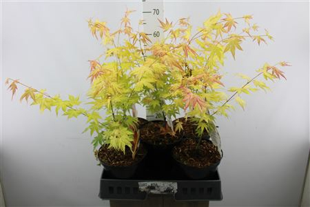 <h4>Acer Yellow</h4>