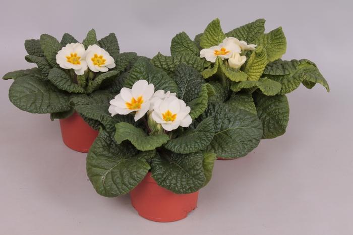 <h4>Primula acaulis Wit</h4>