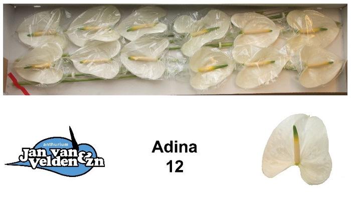 <h4>Adina 12</h4>