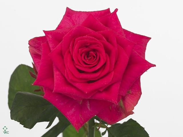 Rosa Gr. Marina