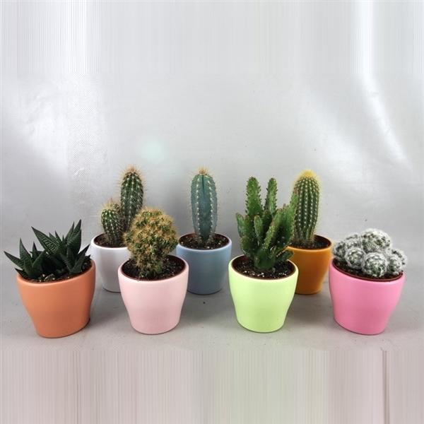 <h4>art.234 Happy colours cactus 8,5 cm</h4>