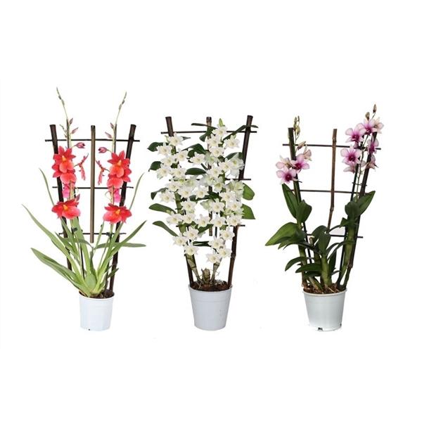 <h4>Orchidee mix 2t op rek</h4>