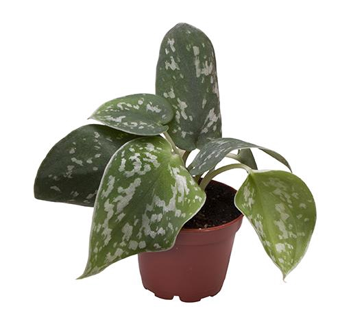 <h4>Philodendron Scandens Pictus 6Ø 12cm</h4>