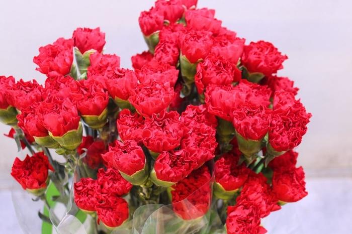 <h4>Dianthus Grandsole</h4>
