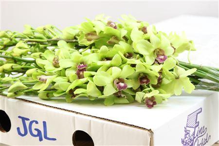 <h4>Dendrobium Groen ( Jgl )</h4>