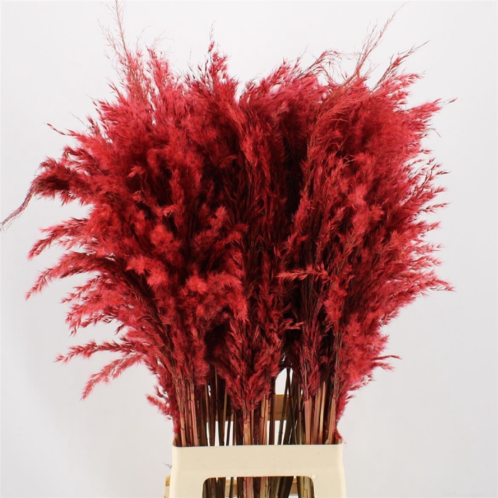 <h4>Pampas Red</h4>