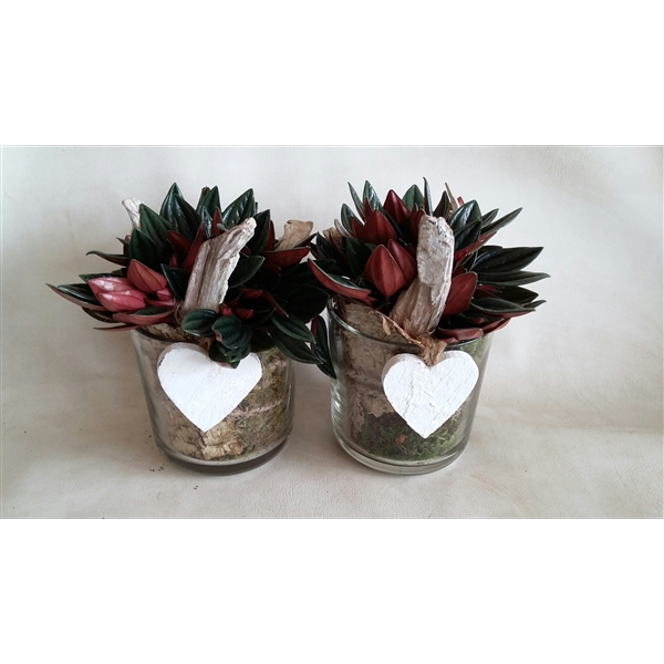 <h4>533 ROS Cil.Glas D13 Peperomia Rosso</h4>