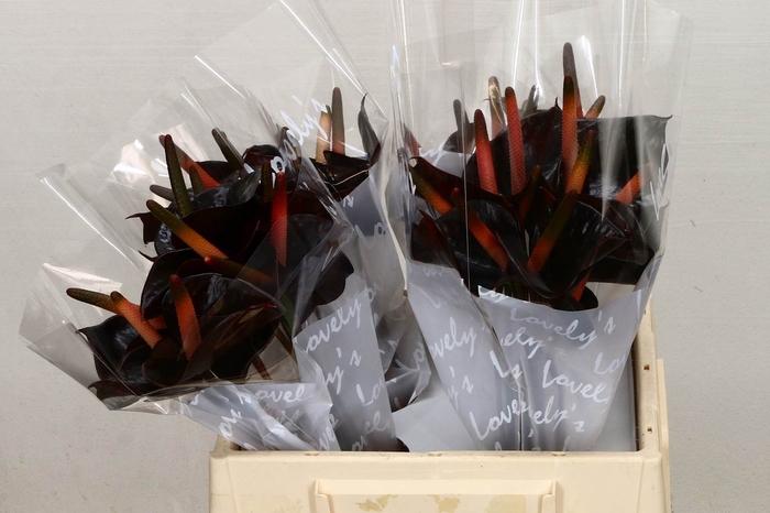 <h4>Anthurium Aqua Black Love</h4>