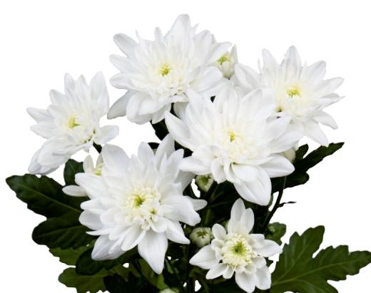 <h4>Chrysanthemum spray piña colada</h4>