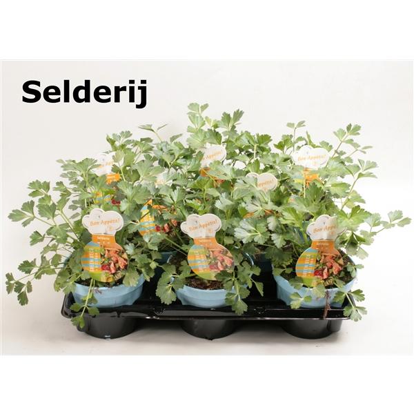 <h4>Selderij</h4>