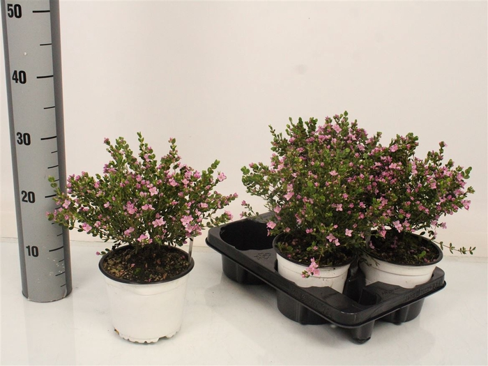<h4>Boronia Crenulata Bush</h4>