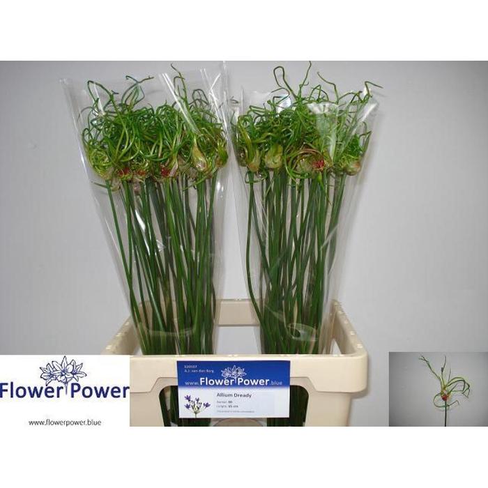 <h4>Allium Dready</h4>