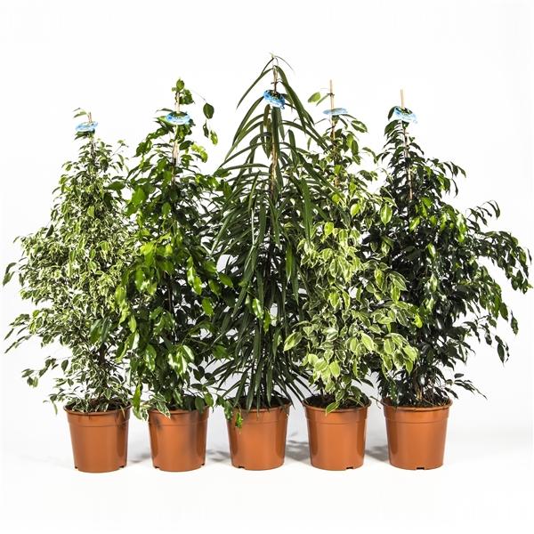 <h4>Ficus mix Exclusive</h4>