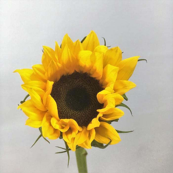 <h4>Sunflower</h4>