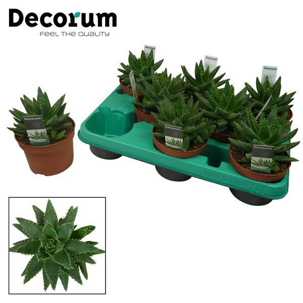 <h4>Aloe brevifolia (Decorum)</h4>