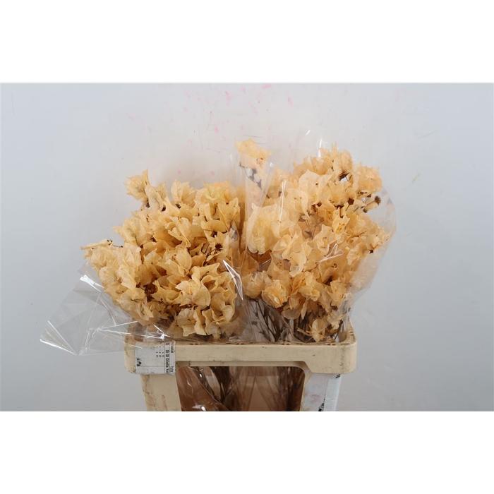 <h4>DRIED FLOWERS - BOUGAINVILLEA BIG ZALM 55CM E</h4>
