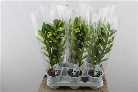 <h4>Dendrobium Nobile White 2 Stems</h4>