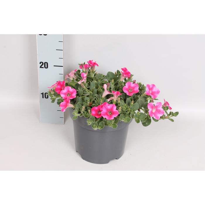 <h4>Perkplanten 19 cm Petunia Dekko Rose</h4>