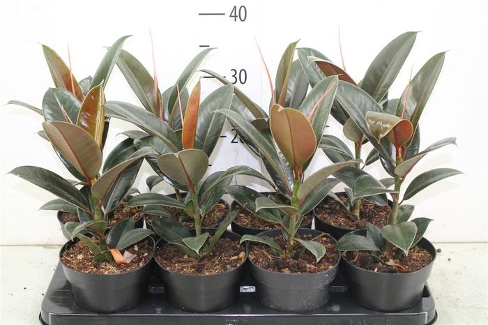 <h4>Ficus Melany</h4>