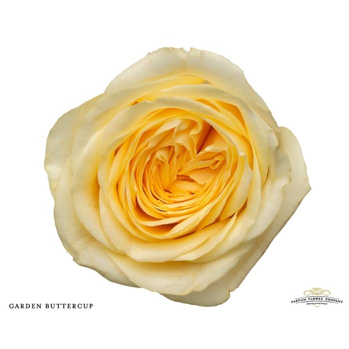 <h4>Rosa Garden Buttercup</h4>