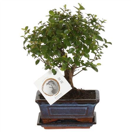 <h4>Bonsai A1151001sa Sageretia Keramiek</h4>