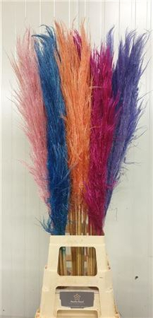 <h4>Cortaderia Mixed Colours</h4>