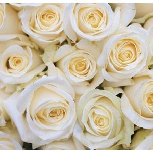 Rosa Avalanche White