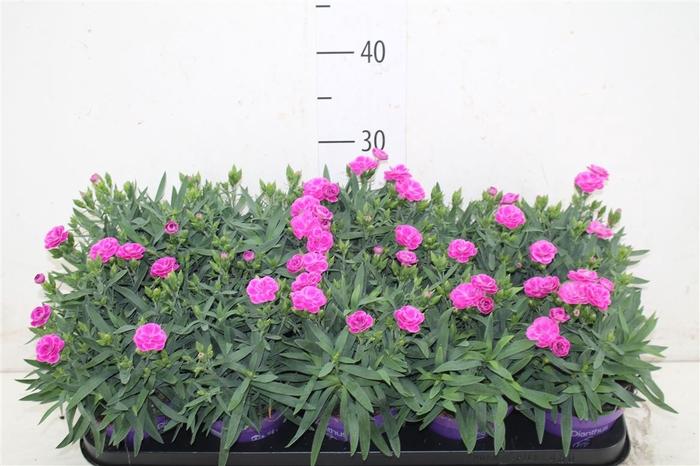 <h4>Dianthus Peman</h4>