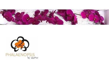 <h4>Phal Velvet Janet X 25 Flowers</h4>
